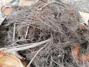 写真:ケヤキの根